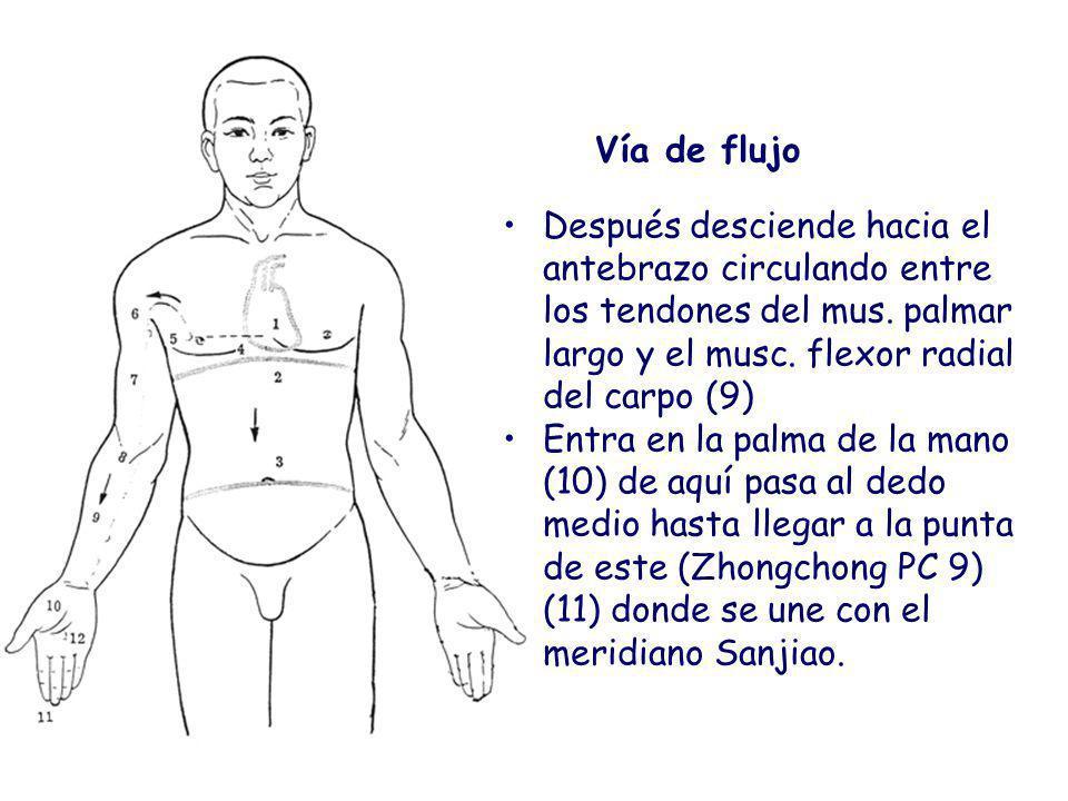 Vía de flujo Después desciende hacia el antebrazo circulando entre los tendones del mus. palmar largo y el musc. flexor radial del carpo (9)