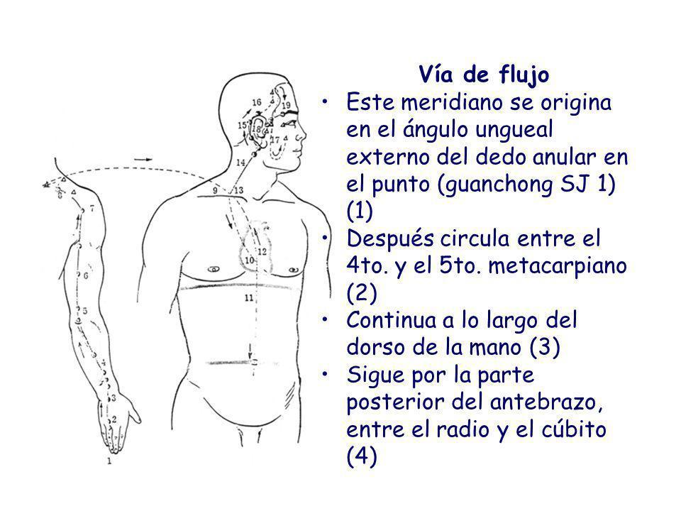 Vía de flujo Este meridiano se origina en el ángulo ungueal externo del dedo anular en el punto (guanchong SJ 1) (1)