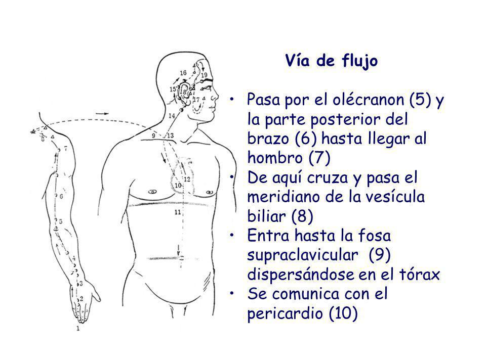 Vía de flujo Pasa por el olécranon (5) y la parte posterior del brazo (6) hasta llegar al hombro (7)