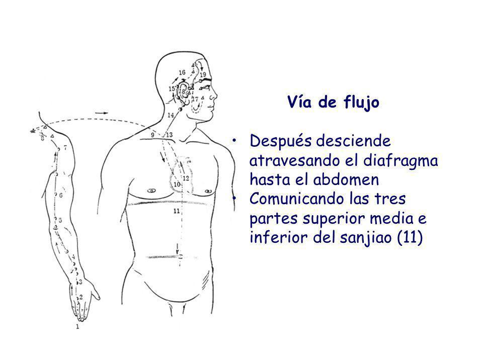 Vía de flujo Después desciende atravesando el diafragma hasta el abdomen.