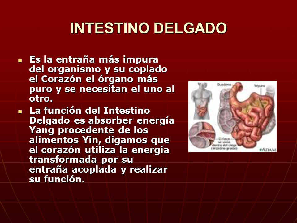 INTESTINO DELGADO Es la entraña más impura del organismo y su coplado el Corazón el órgano más puro y se necesitan el uno al otro.