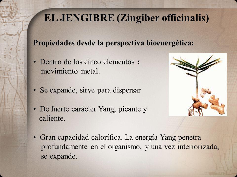 EL JENGIBRE (Zingiber officinalis)