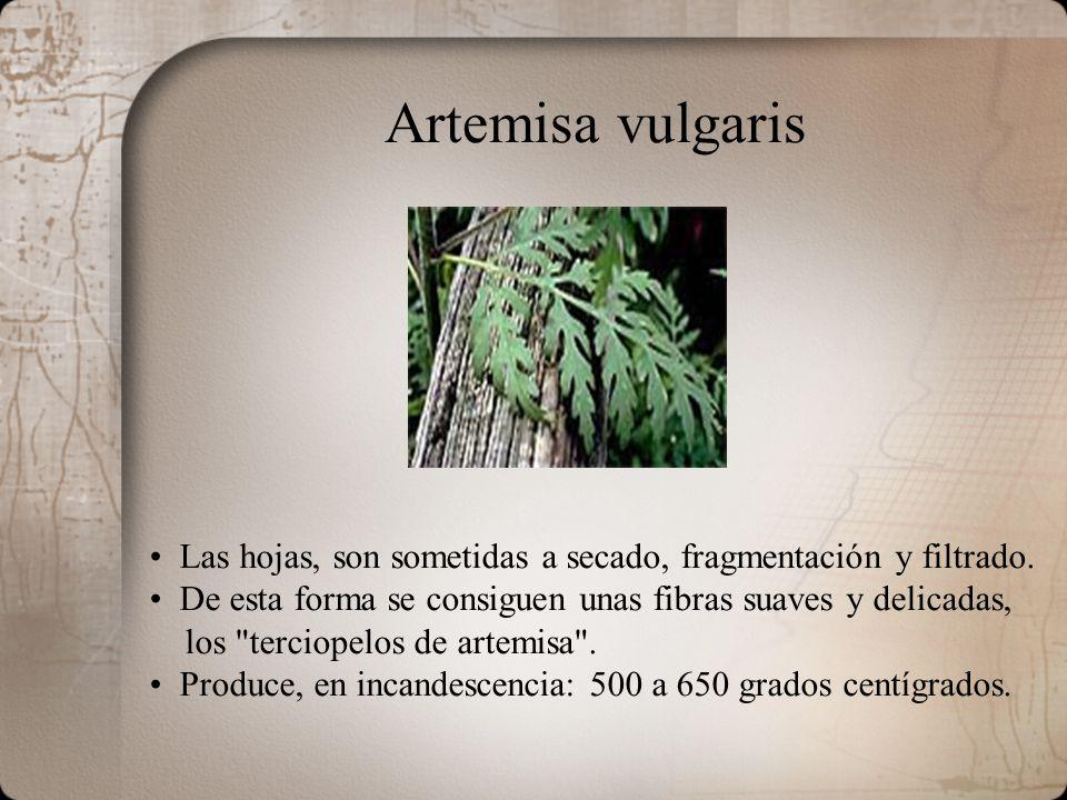 Artemisa vulgaris Las hojas, son sometidas a secado, fragmentación y filtrado. De esta forma se consiguen unas fibras suaves y delicadas,