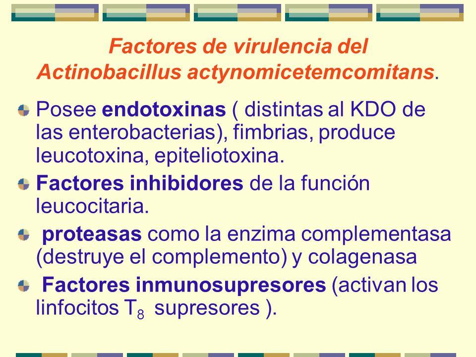 Factores de virulencia del Actinobacillus actynomicetemcomitans.