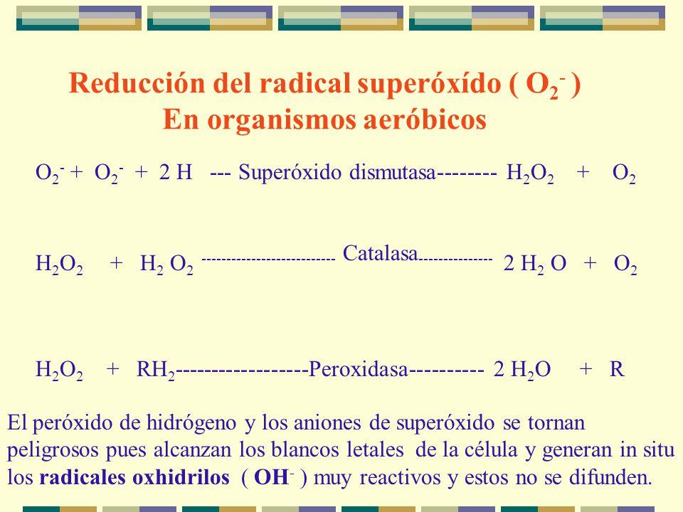 Reducción del radical superóxído ( O2- ) En organismos aeróbicos
