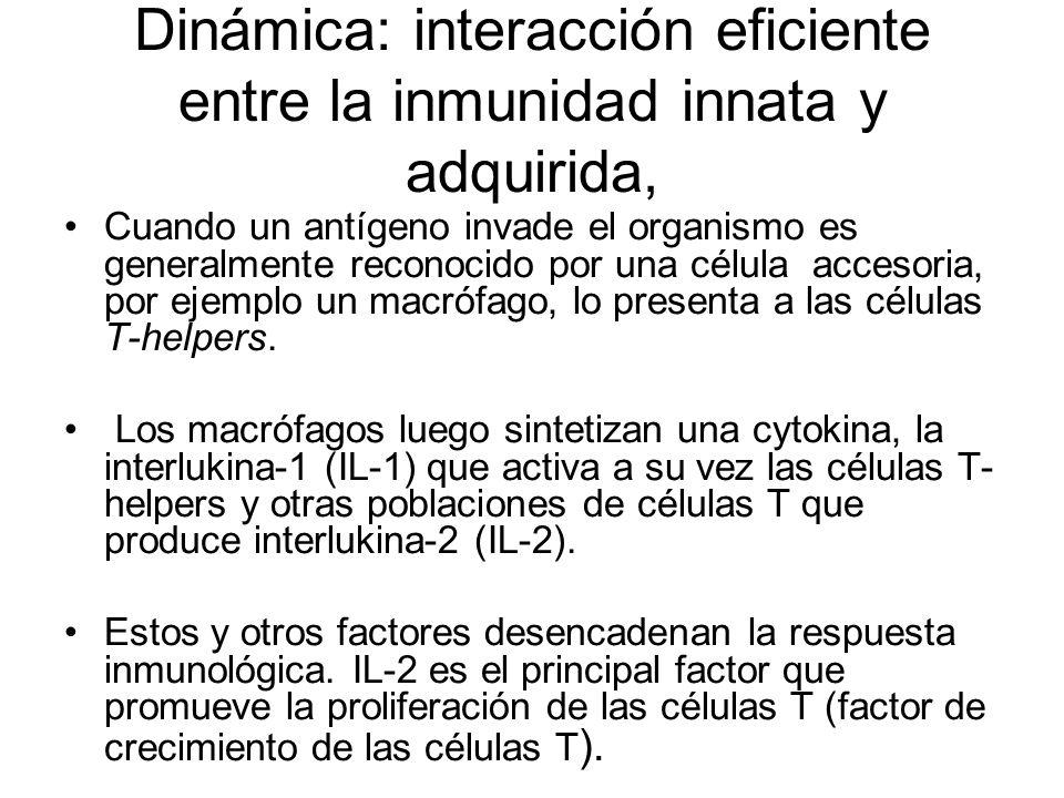 Dinámica: interacción eficiente entre la inmunidad innata y adquirida,