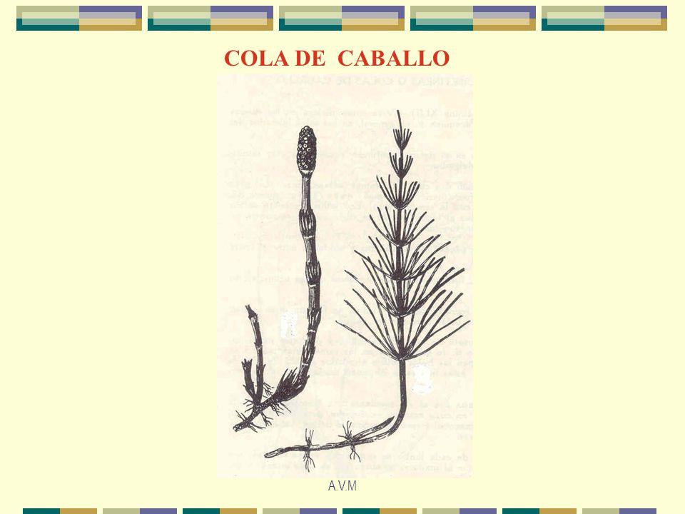 COLA DE CABALLO A.V.M