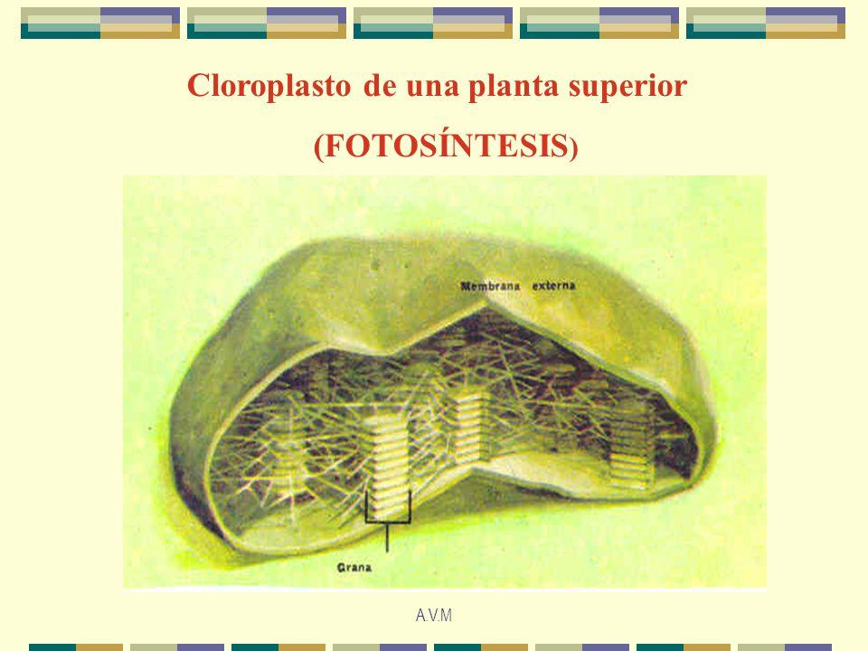 Cloroplasto de una planta superior (FOTOSÍNTESIS)