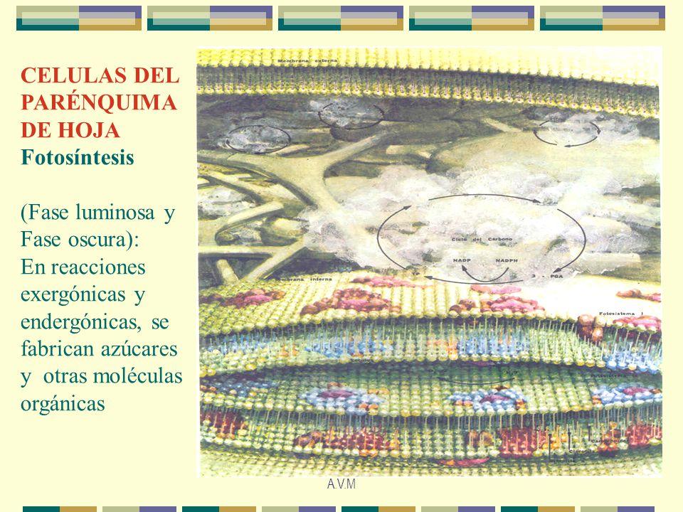 CELULAS DEL PARÉNQUIMA DE HOJA