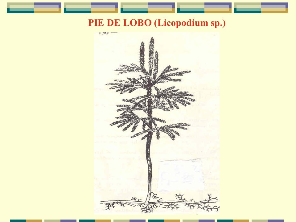PIE DE LOBO (Licopodium sp.)