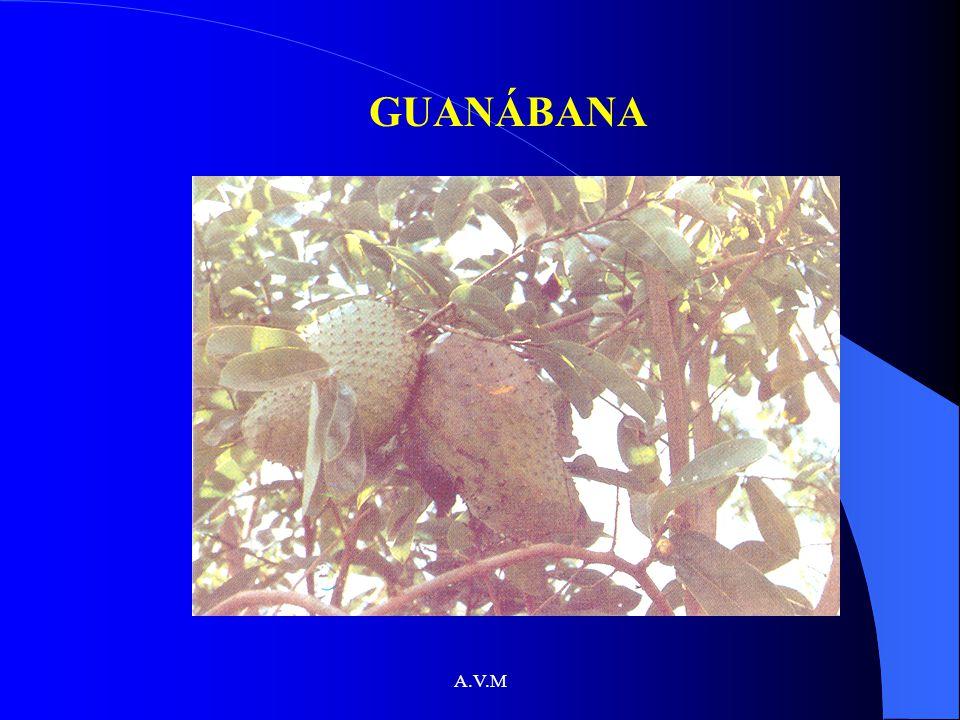 GUANÁBANA A.V.M
