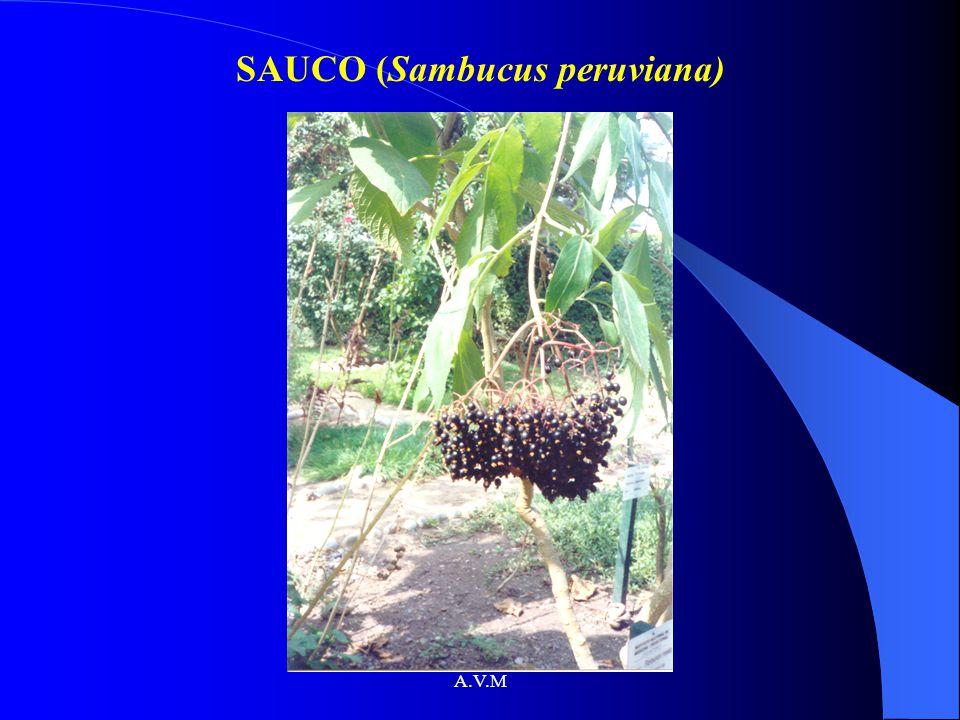 SAUCO (Sambucus peruviana)
