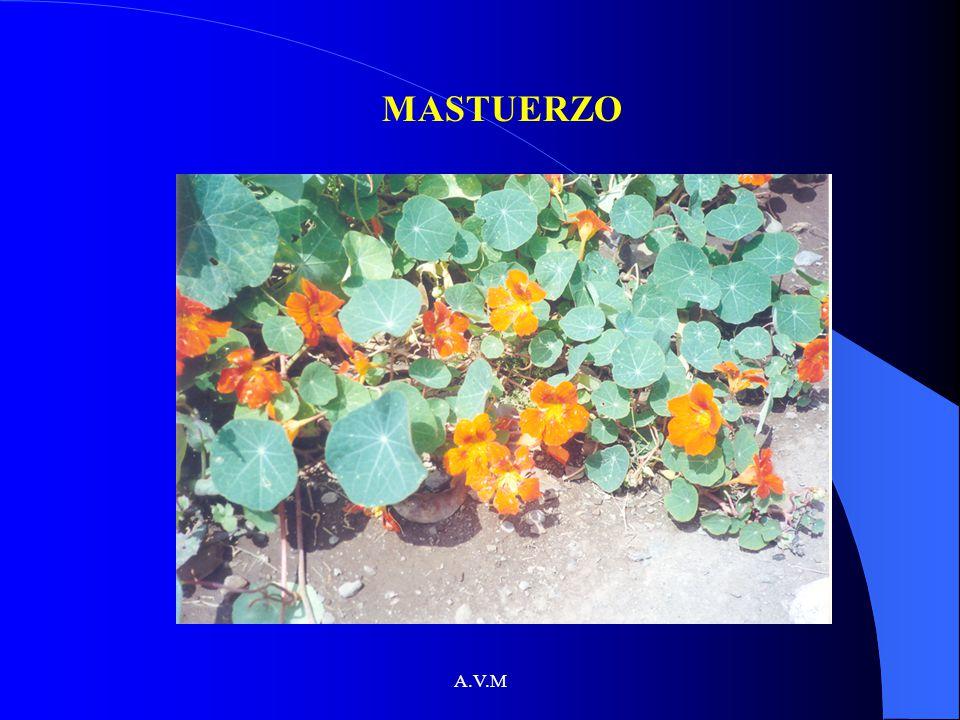 MASTUERZO A.V.M