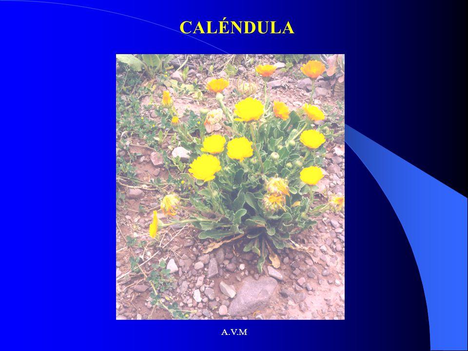 CALÉNDULA A.V.M