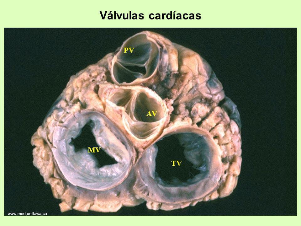 Válvulas cardíacas www.med.uottawa.ca