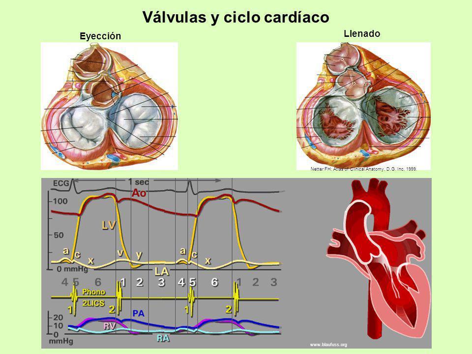 Válvulas y ciclo cardíaco