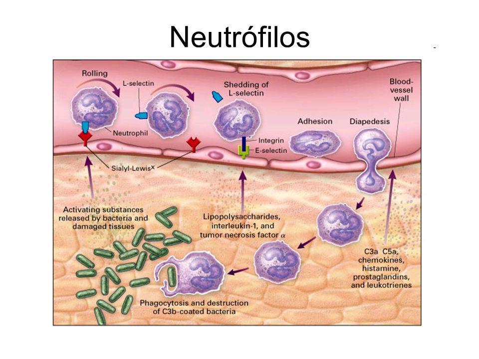 Neutrófilos