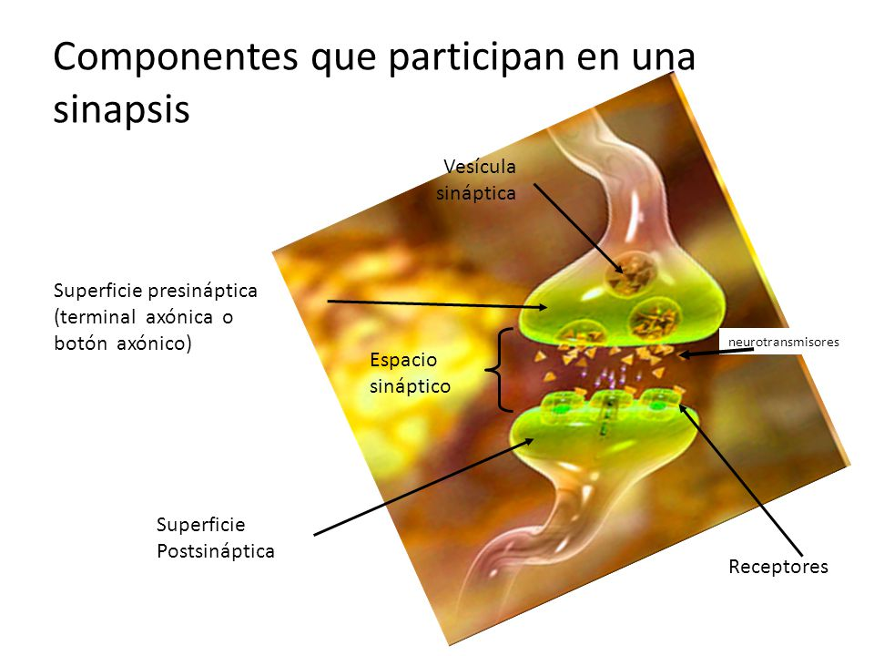 Componentes que participan en una sinapsis
