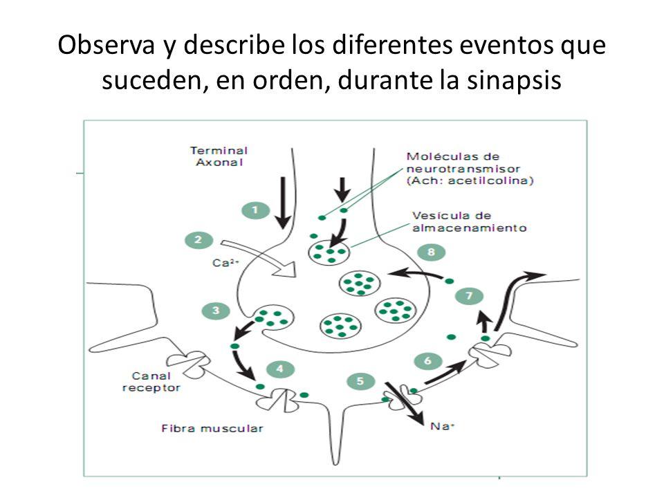 Observa y describe los diferentes eventos que suceden, en orden, durante la sinapsis