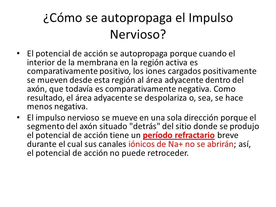 ¿Cómo se autopropaga el Impulso Nervioso