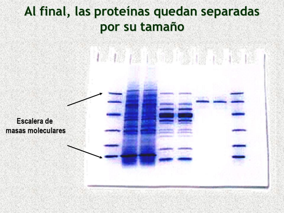 Al final, las proteínas quedan separadas por su tamaño