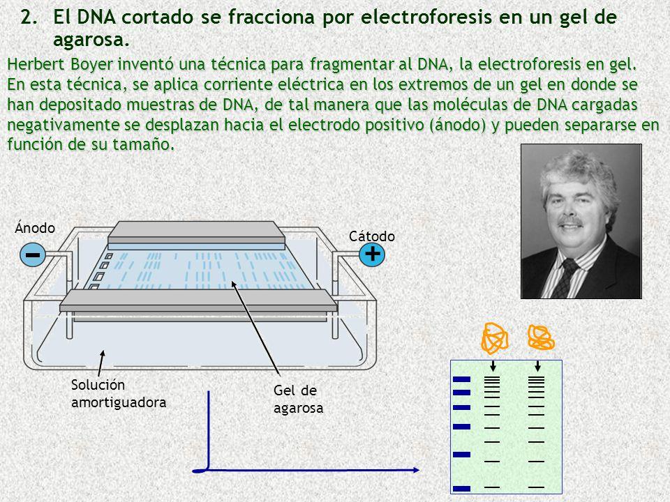 + El DNA cortado se fracciona por electroforesis en un gel de agarosa.