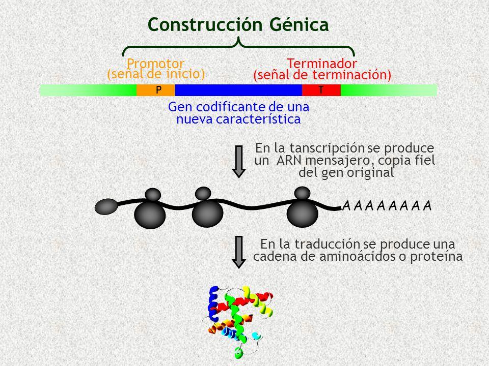 Construcción Génica Promotor (señal de inicio) Terminador