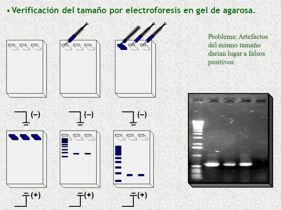 Verificación del tamaño por electroforesis en gel de agarosa.