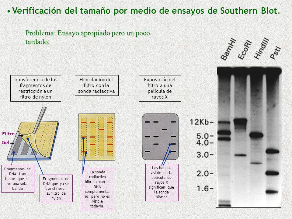 Verificación del tamaño por medio de ensayos de Southern Blot.