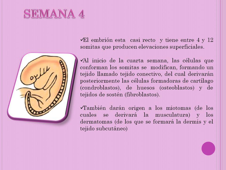 SEMANA 4 El embrión esta casi recto y tiene entre 4 y 12 somitas que producen elevaciones superficiales.