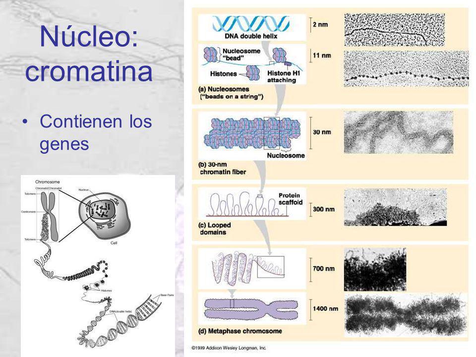 Núcleo: cromatina Contienen los genes