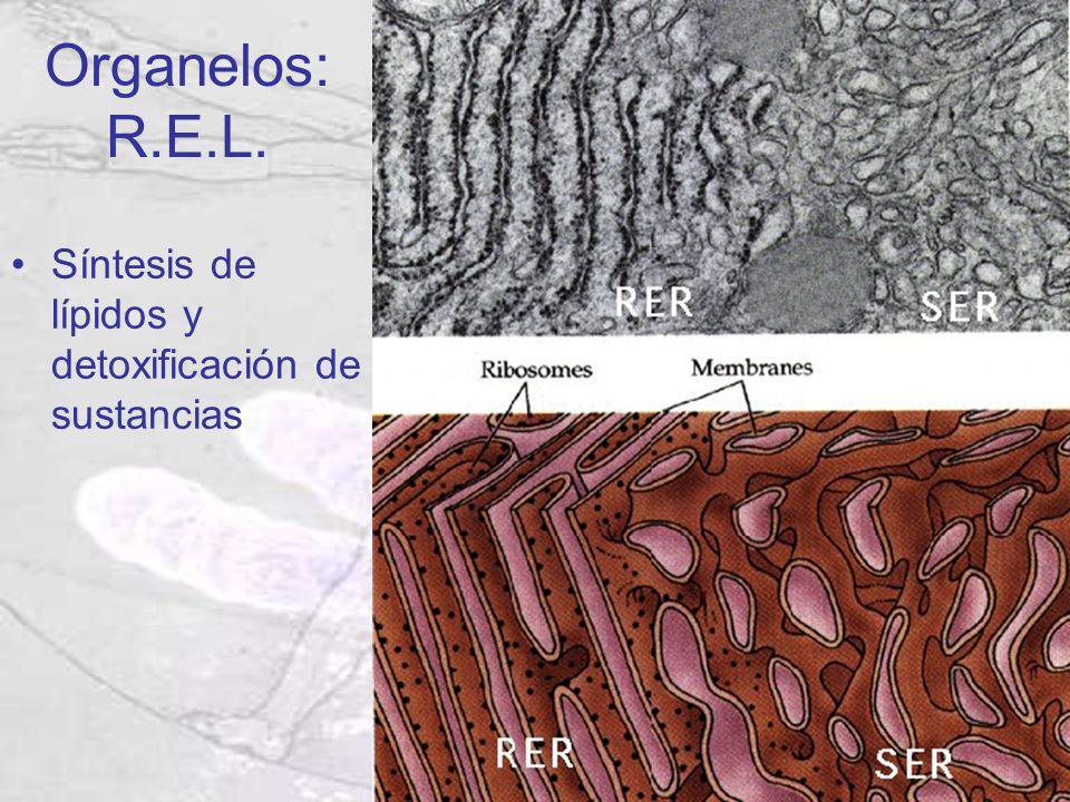 Organelos: R.E.L. Síntesis de lípidos y detoxificación de sustancias