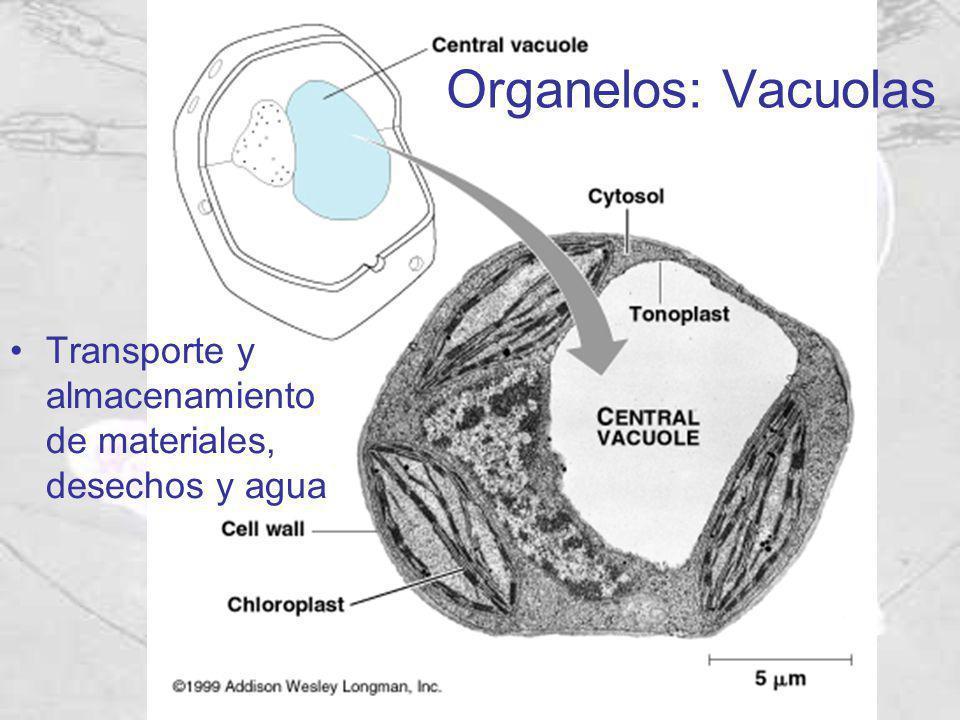 Organelos: Vacuolas Transporte y almacenamiento de materiales, desechos y agua