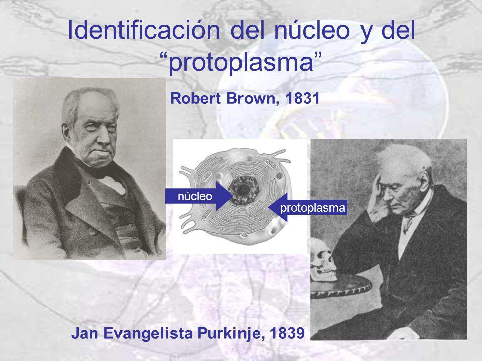 Identificación del núcleo y del protoplasma