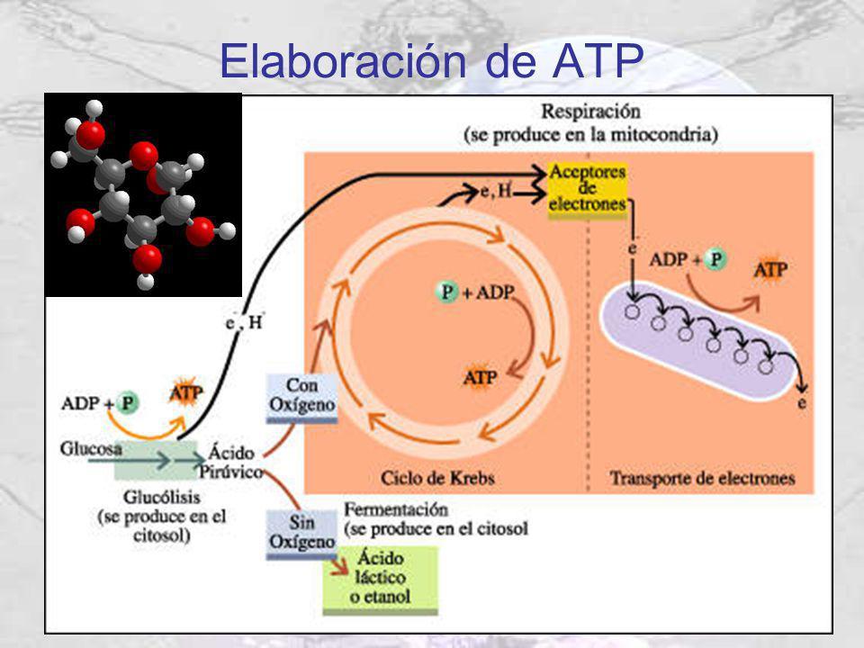 Elaboración de ATP