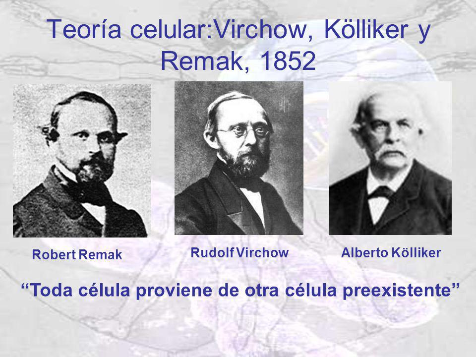 Teoría celular:Virchow, Kölliker y Remak, 1852