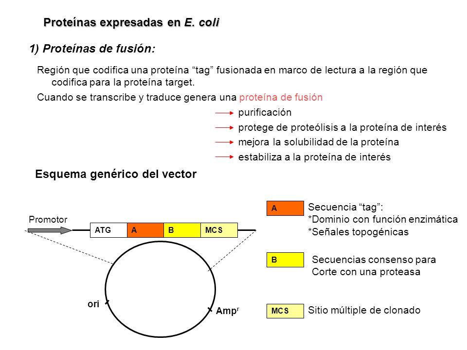 Proteínas expresadas en E. coli