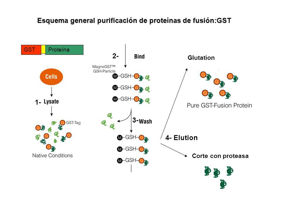 Esquema general purificación de proteínas de fusión:GST