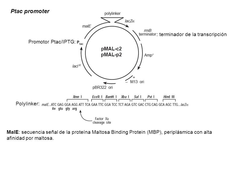 Ptac promoter : terminador de la transcripción Promotor Ptac/IPTG: