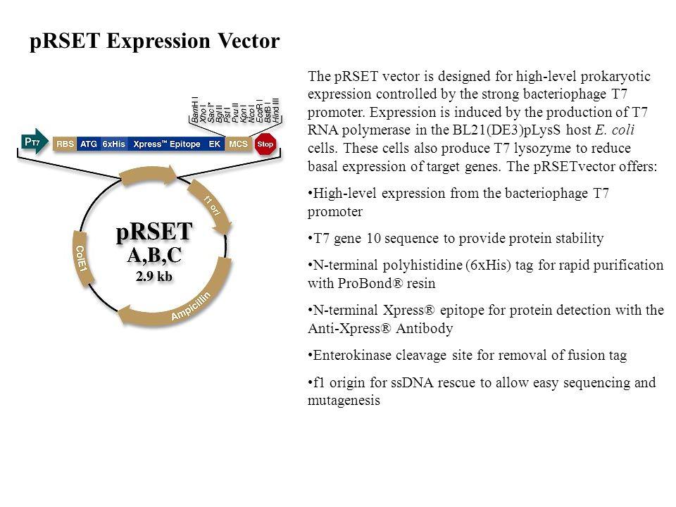 pRSET Expression Vector
