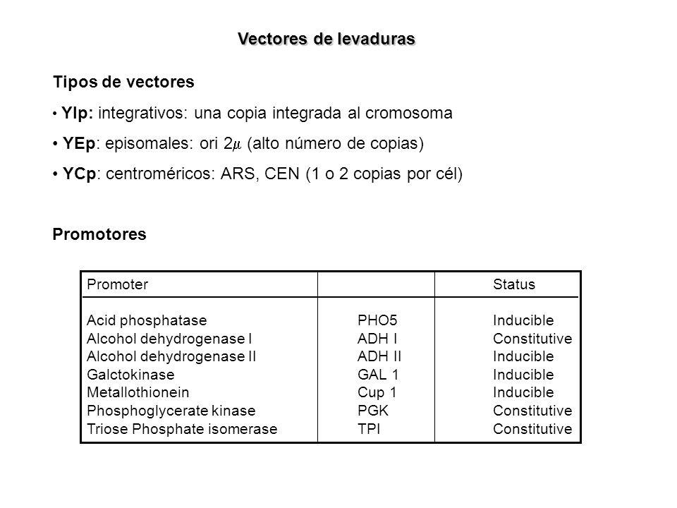 YEp: episomales: ori 2m (alto número de copias)