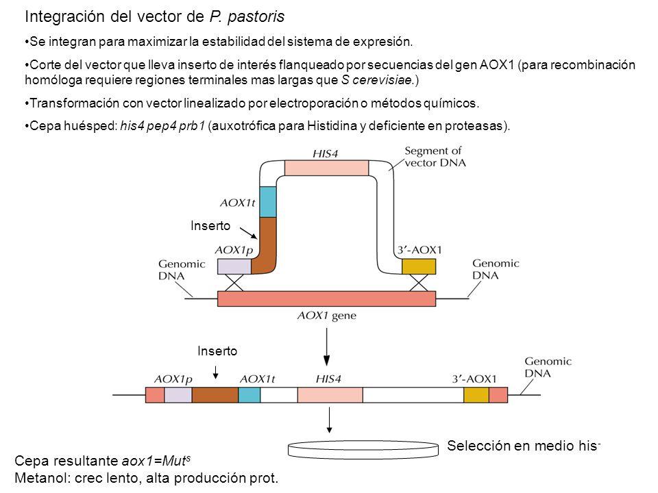 Integración del vector de P. pastoris
