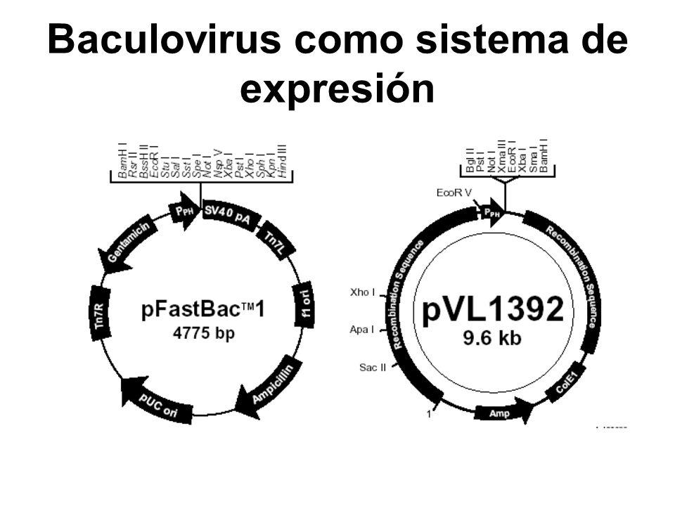 Baculovirus como sistema de expresión