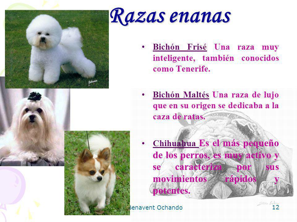 Razas enanas Bichón Frisé Una raza muy inteligente, también conocidos como Tenerife.