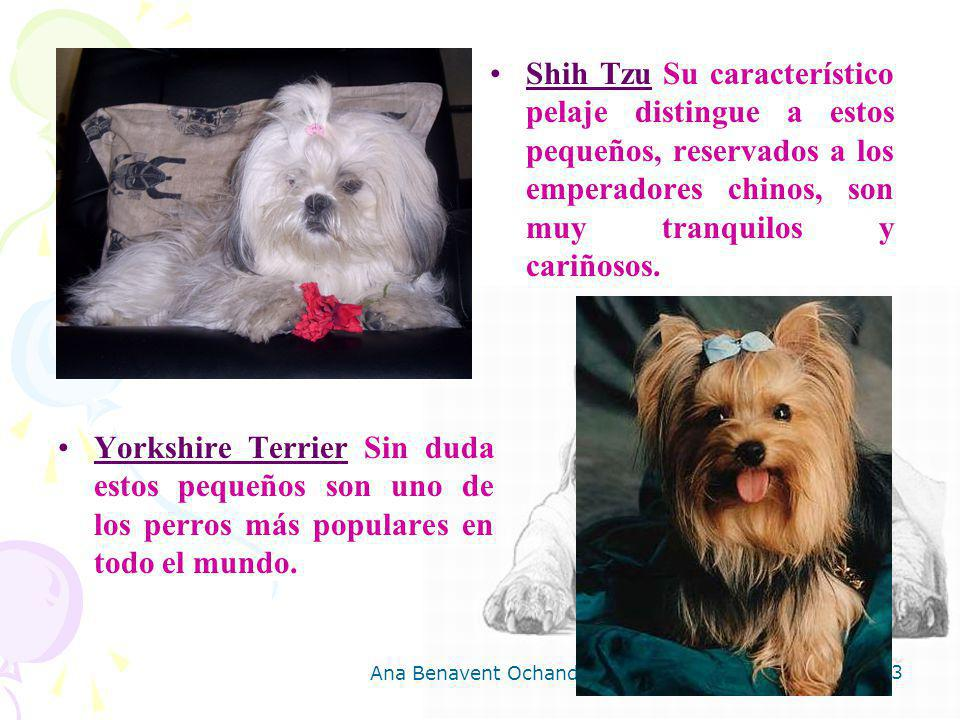 Shih Tzu Su característico pelaje distingue a estos pequeños, reservados a los emperadores chinos, son muy tranquilos y cariñosos.