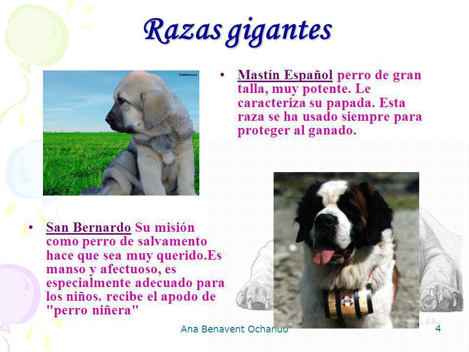 Razas gigantes Mastín Español perro de gran talla, muy potente. Le caracteriza su papada. Esta raza se ha usado siempre para proteger al ganado.