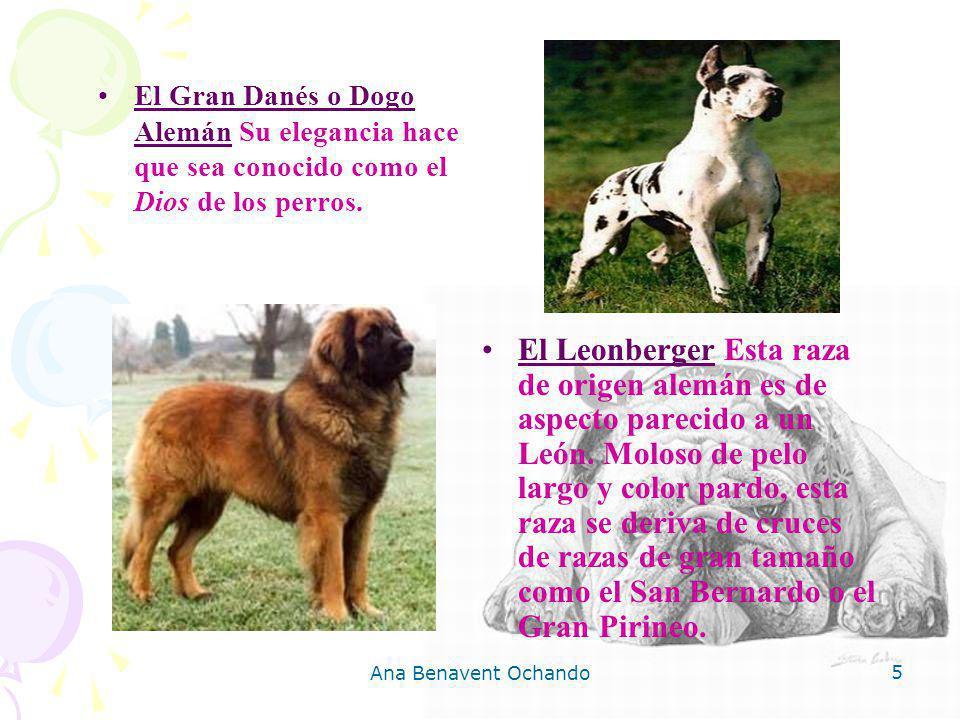 El Gran Danés o Dogo Alemán Su elegancia hace que sea conocido como el Dios de los perros.