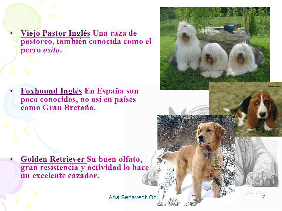 Viejo Pastor Inglés Una raza de pastoreo, también conocida como el perro osito.