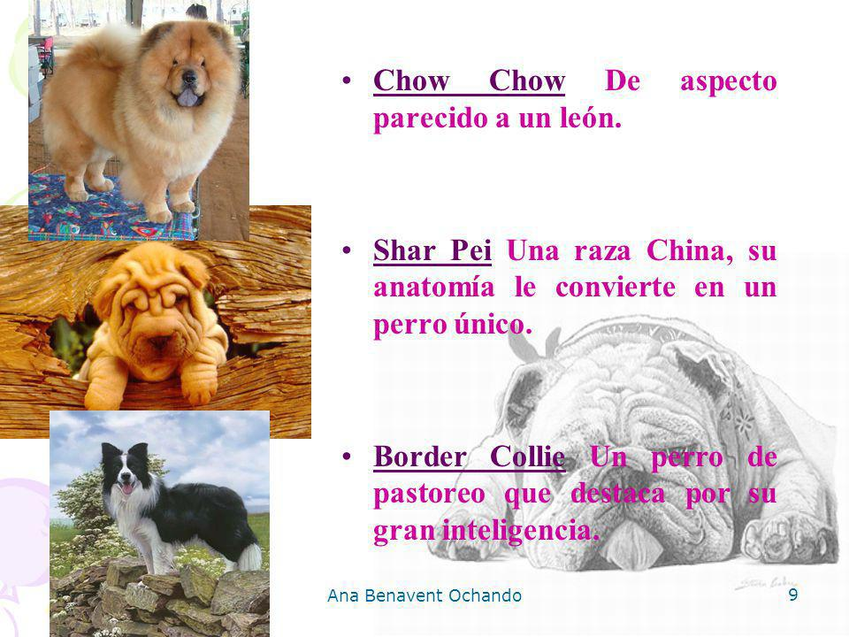 Chow Chow De aspecto parecido a un león.