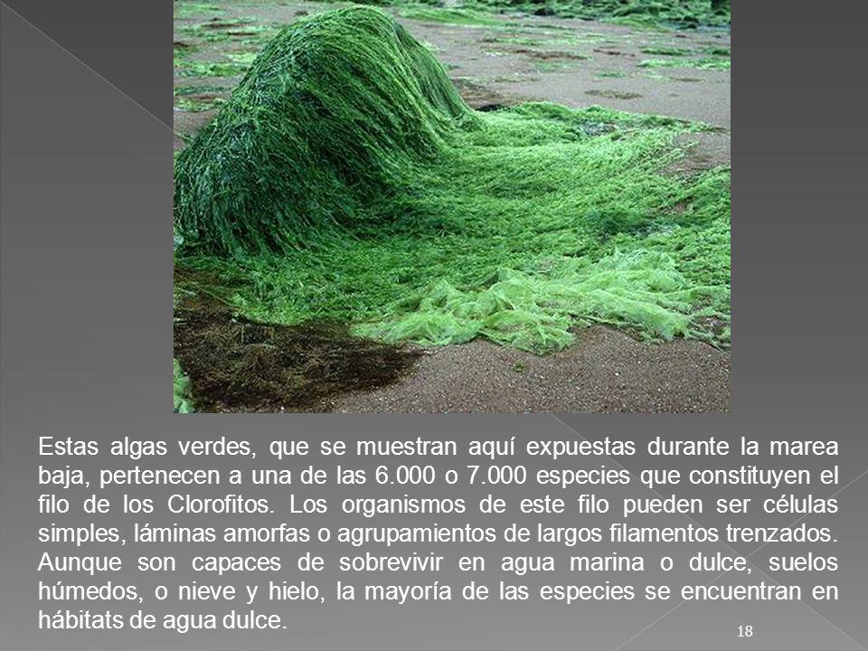 Estas algas verdes, que se muestran aquí expuestas durante la marea baja, pertenecen a una de las 6.000 o 7.000 especies que constituyen el filo de los Clorofitos.